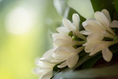 Tiare Flowers