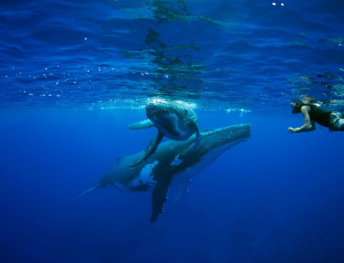 Humpback whales in Polynesia