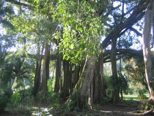 The banyan tree planted in 1936