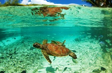 The wonderful turtles of Le Méridien Bora Bora