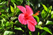 The Hibiscus or Rose of Sharon of Tahiti & Her Islands