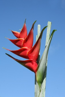 Bird-of-paradise flower of Tahiti
