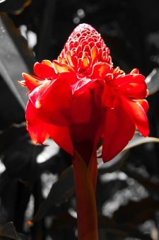 Pink torch ginger of Tahiti