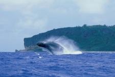 Whales in Rurutu
