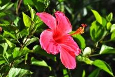 L'hibiscus de Tahiti et ses Îles