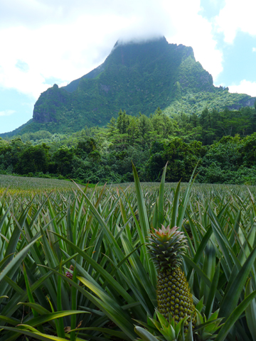 Promenade dans les champs d'ananas à Moorea