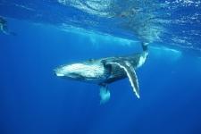 Le passage des baleines à bosse en Polynésie